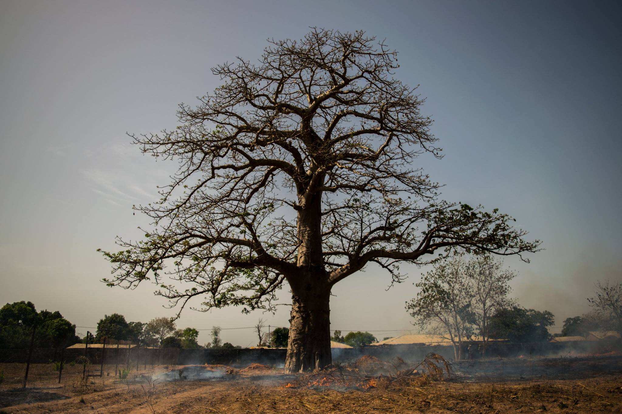 A baobab tree in the dry season