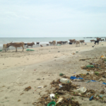 A roaming herd of N'Dama cattle on a Gambian beach